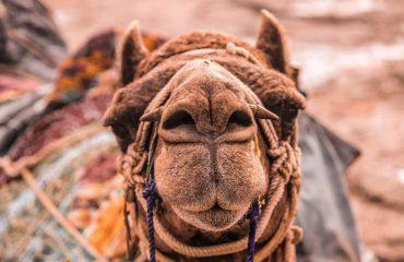 Rajasthan Camels